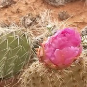 Pink Prickly Pear Cactus Flower